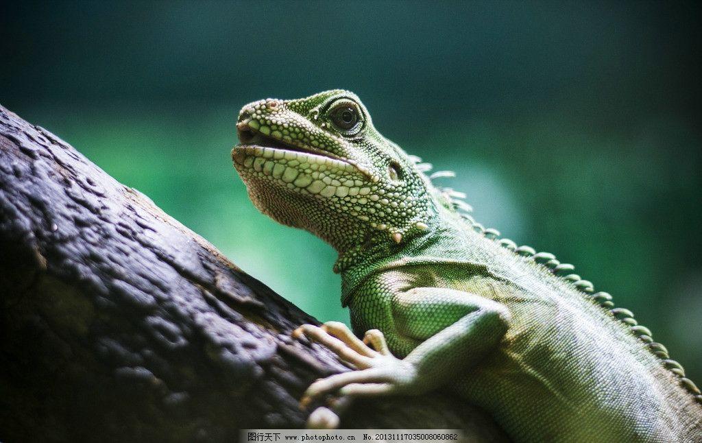 蜥蜴 动物 动物园 大蜥蜴 摄影 野生动物 生物世界 240dpi jpg