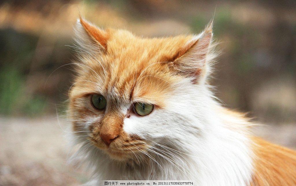 野猫 猫 猫头 特写 毛 家禽家畜 生物世界 摄影 72dpi jpg