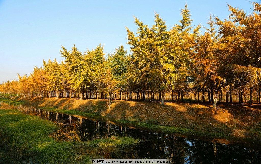 银杏树林图片