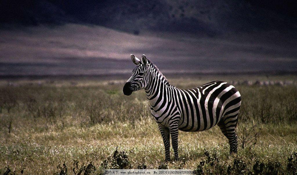 斑马 斑马图片素材下载 热带 丛林 灌木丛 野生 自然 风景 野生动物