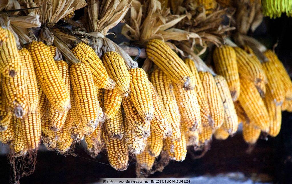 丰收的玉米图片
