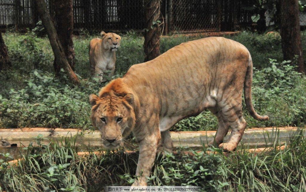 狮子 老虎 兽 动物