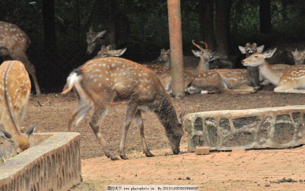 梅花鹿 鹿 动物 野生动物 海南野生动物园 生物世界 摄影 300dpi jpg