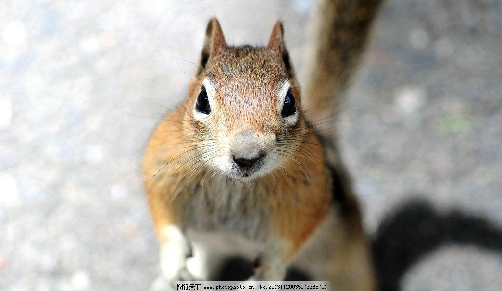 松鼠 袋鼠 萌物 动物 可爱 田鼠 鼠类 老鼠 野生动物 生物世界 摄影