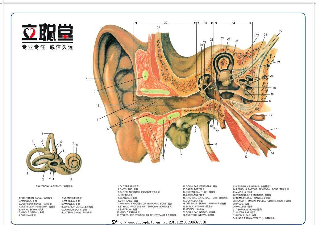 耳朵结构图图片