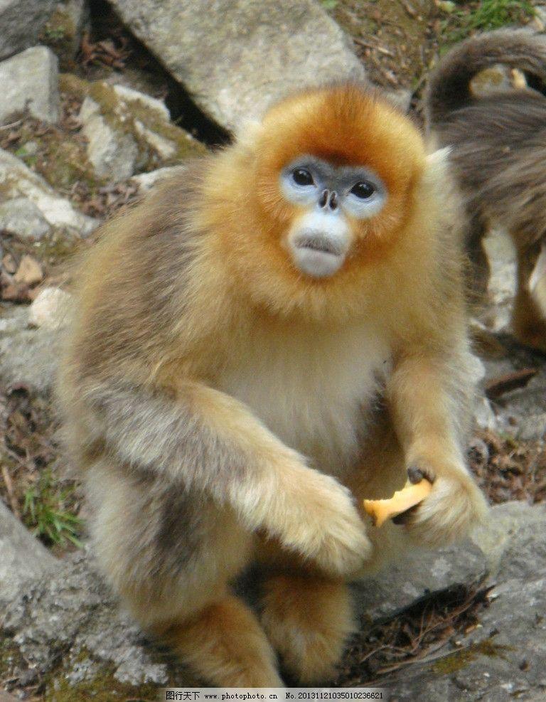 猴子 狒狒 动物 猩猩 大自然 摄影 野生动物 生物世界 72dpi jpg