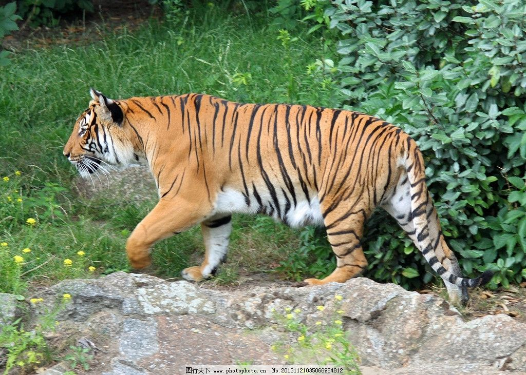 老虎 虎 动物 生物 生物世界 野生动物 摄影 72dpi jpg