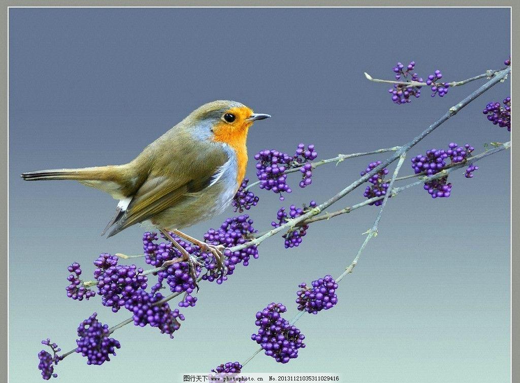 知更鸟图片