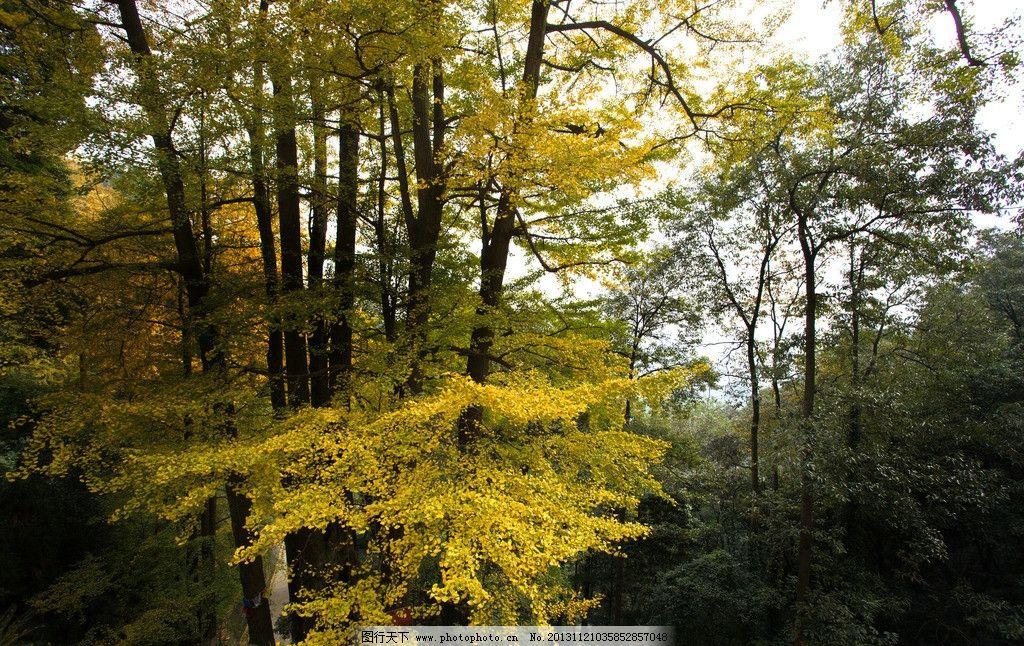 茂密的银杏林 白岩寺 银杏叶 大树 大邑 树林 层林尽染 阶梯