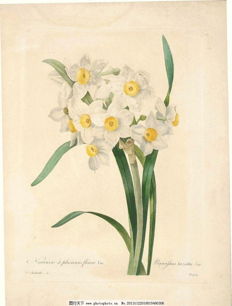 珍藏版植物图谱水仙 珍藏版植物图谱 植物 水仙花 白花 水彩画 鲜花