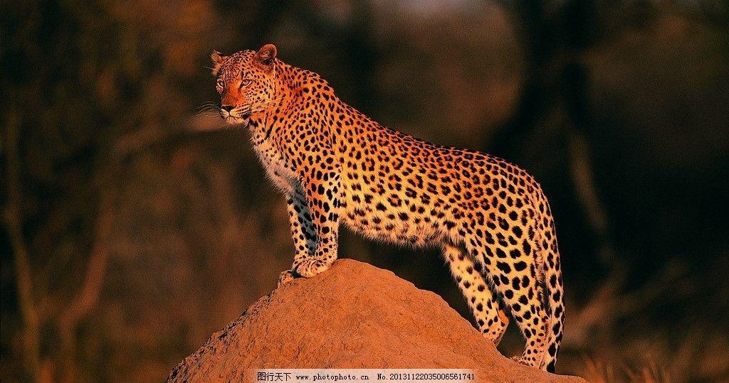 花豹 野生 动物 非人工驯养 生物世界 野生动物系列一 野生动物 摄影