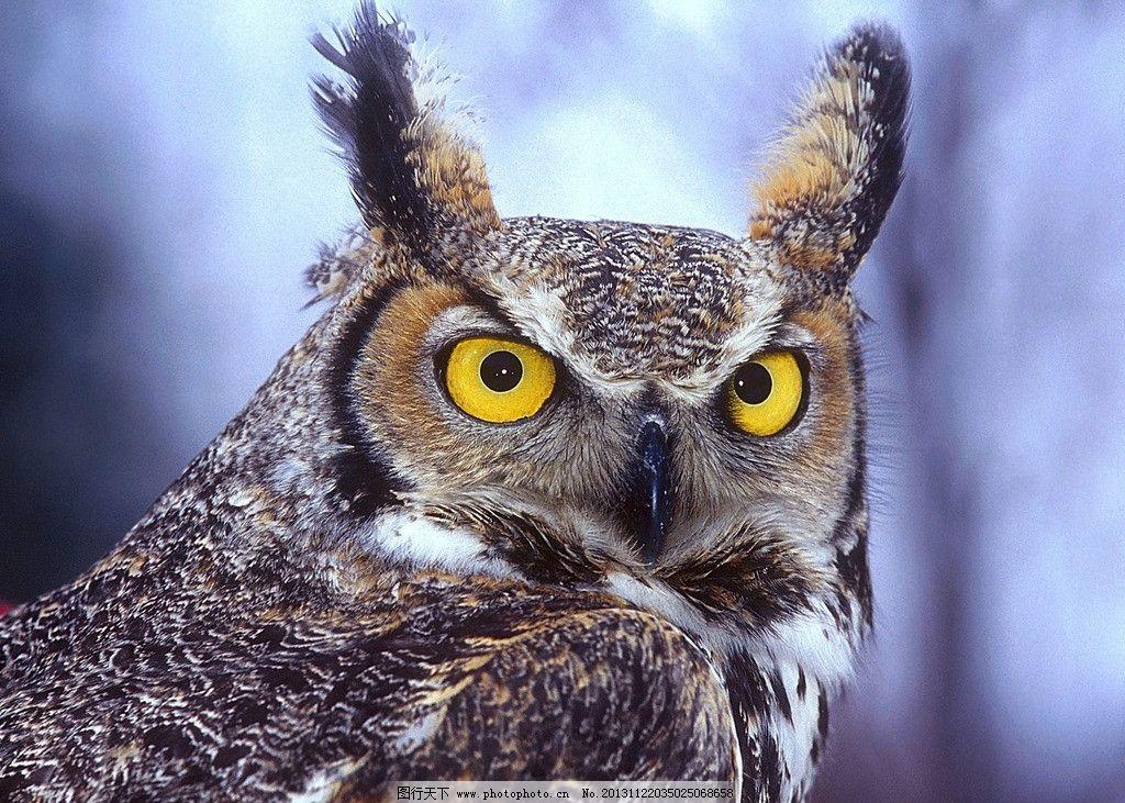 猫头鹰 飞鸟 眼睛 吃老鼠 可爱 野生动物系列一 野生动物 生物世界