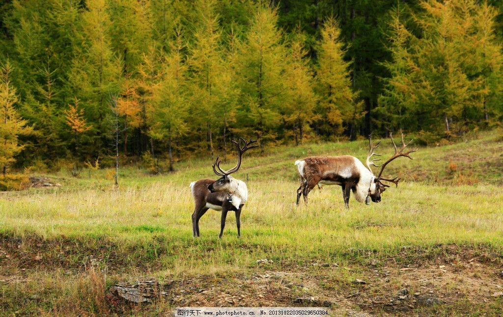 驯鹿 鹿科 动物 森林 放养 少数民族 鄂温克 部落 生产 生活