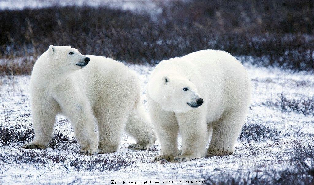 北极熊 熊 动物 生物 生物世界 野生动物 摄影 72dpi jpg