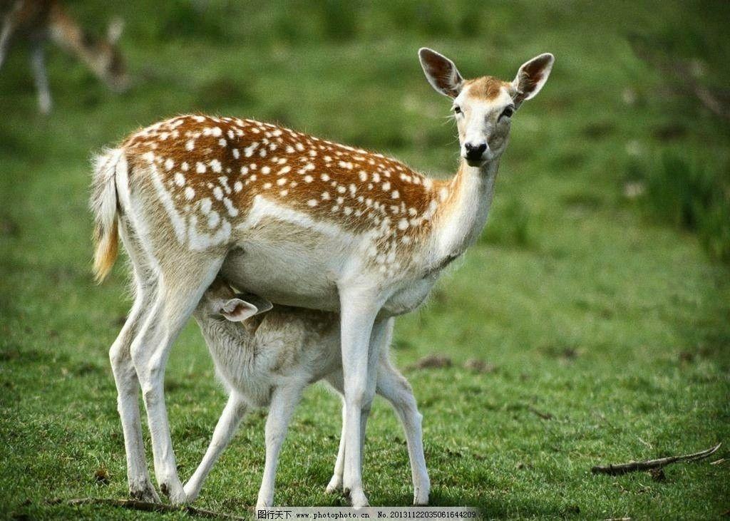麋鹿 野生 动物 非人工驯养 生物世界 野生动物系列一 野生动物 摄影