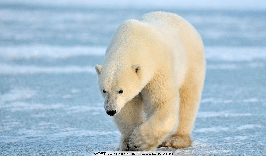 北极熊 动物 生物 生物世界 野生动物 摄影