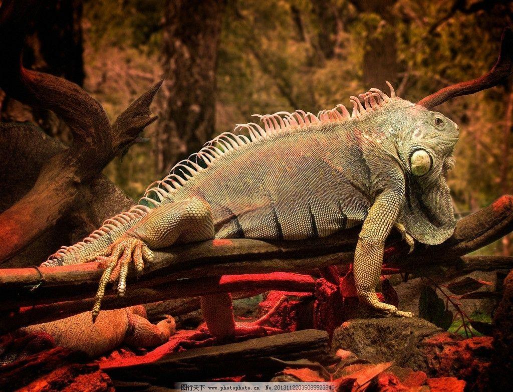 变色龙 野生 动物 非人工驯养 野生动物系列一 摄影