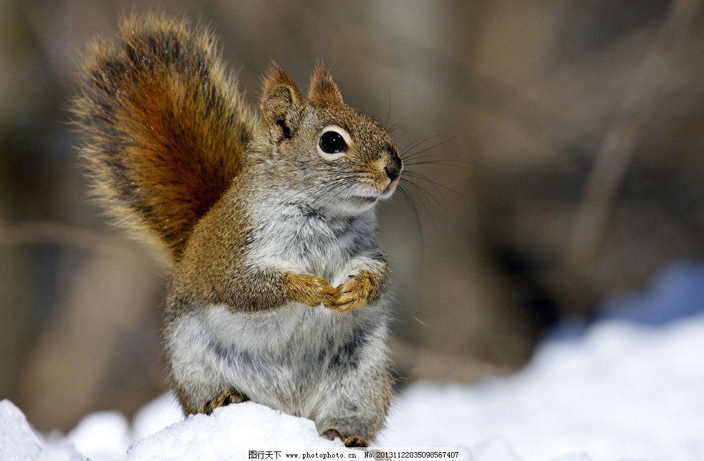 松鼠 动物 生物 生物世界 野生动物 摄影 72dpi jpg