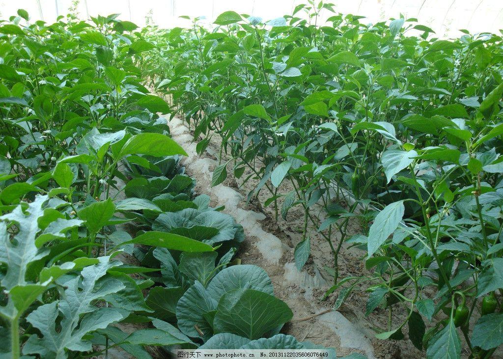 农业蔬菜 农业种植 蔬菜种植 蔬菜大棚 农业生产 蔬菜栽培 蔬菜 农业