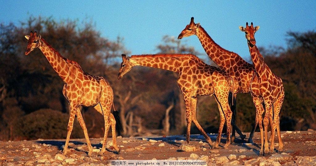 长颈鹿 动物 壁纸 鹿 石头