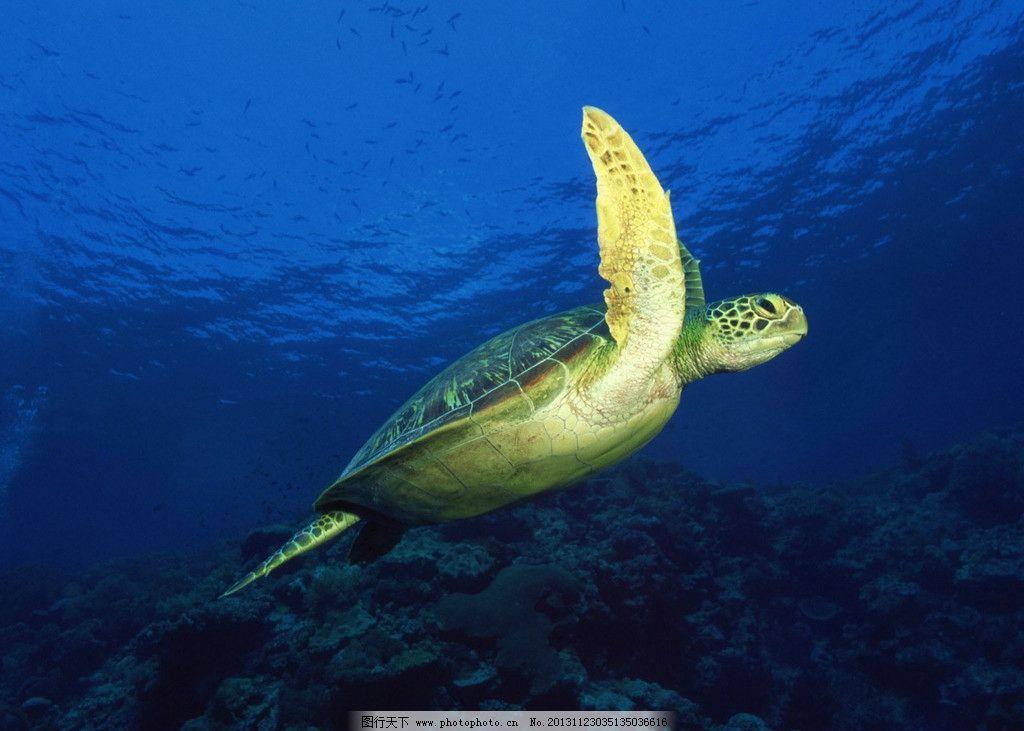 海龟 大海 深海 遨游 深蓝 海底 珊瑚 鱼群 摄影