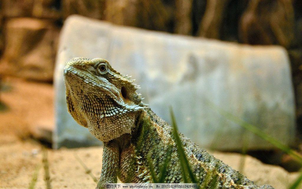 鬣蜥 蜥蜴 爬行动物 爬虫 动物园 野生动物 生物世界 摄影 300dpi jpg