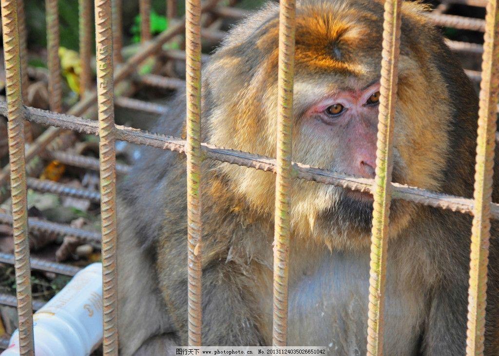 猴精 古猴 孙悟空 野猴 山猴子 笼子 笼中猴 笼中兽 野生动物 生物