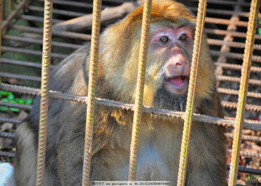 老猴子 猴精 古猴 孙悟空 野猴 山猴子 笼子 笼中猴 笼中兽 野生动物