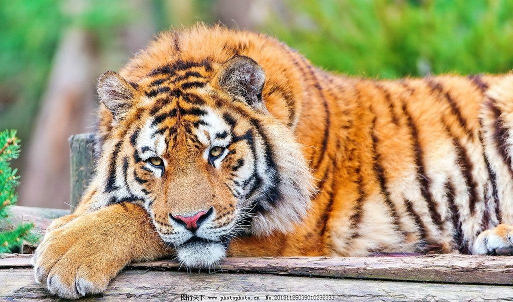 老虎 虎 动物 生物 生物世界 野生动物 摄影 240dpi jpg