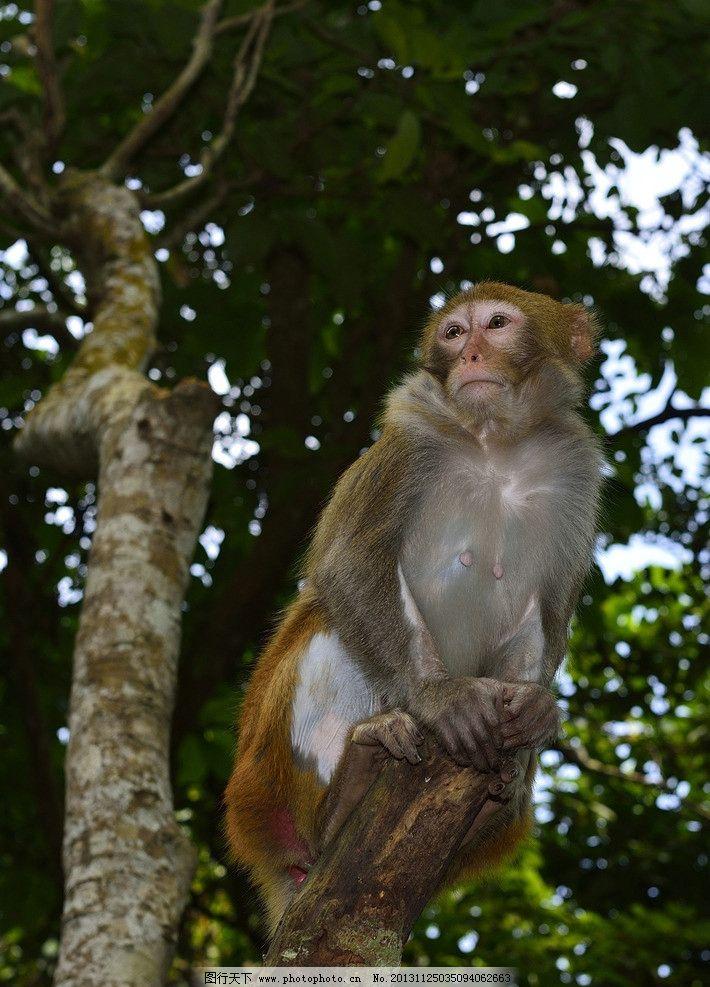 摄影图库 生物世界 野生动物  坐在树枝上的猴子 小猴子 猴子 猕猴
