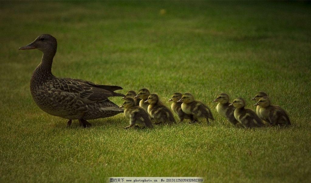 鸭子 小鸭子 老鸭 老母鸭 带队 可爱 家禽小动物系列一 家禽家畜 生物