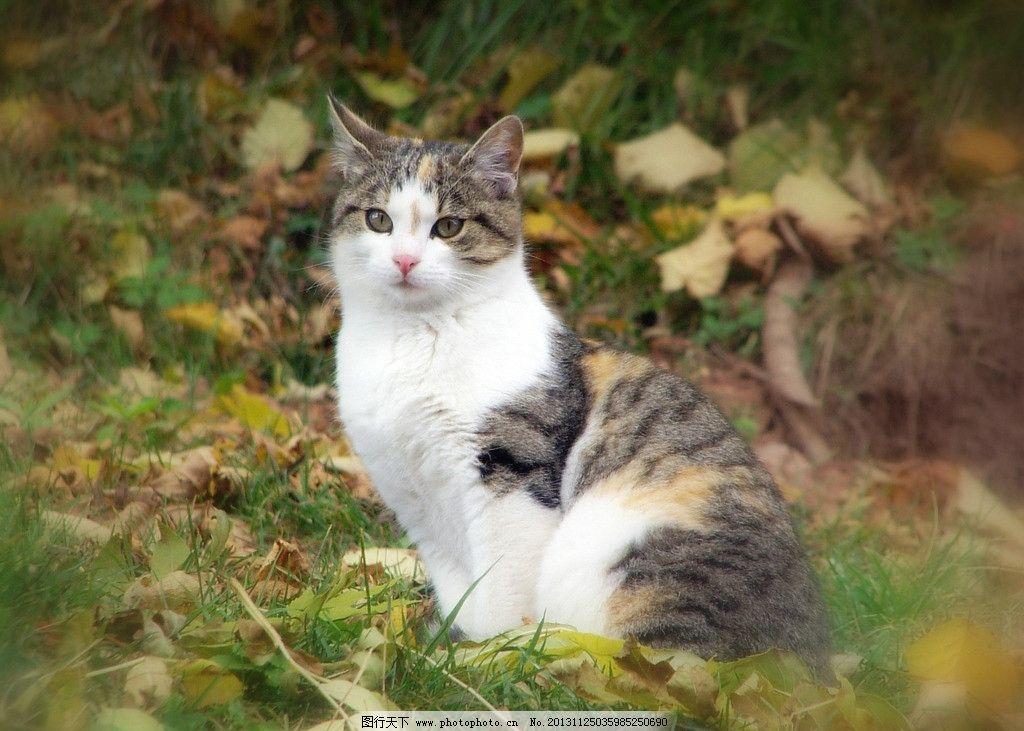 花猫 家猫 懒猫 猫猫 宠物 可爱 家禽小动物系列一 家禽家畜 生物世