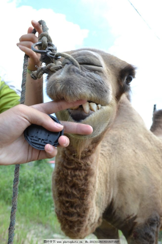 骆驼特写 骆驼 动物 骆驼卖萌 大自然 站立 野生动物 生物世界 摄影