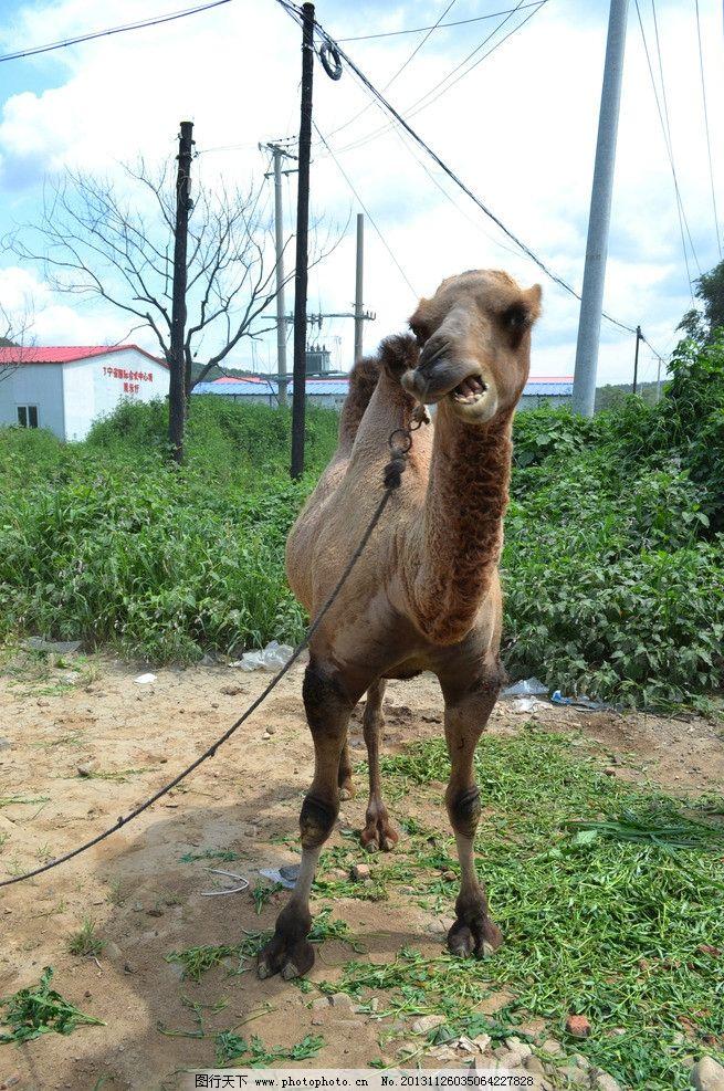 骆驼 动物 骆驼卖萌 大自然 站立 野生动物 生物世界 摄影 300dpi jpg
