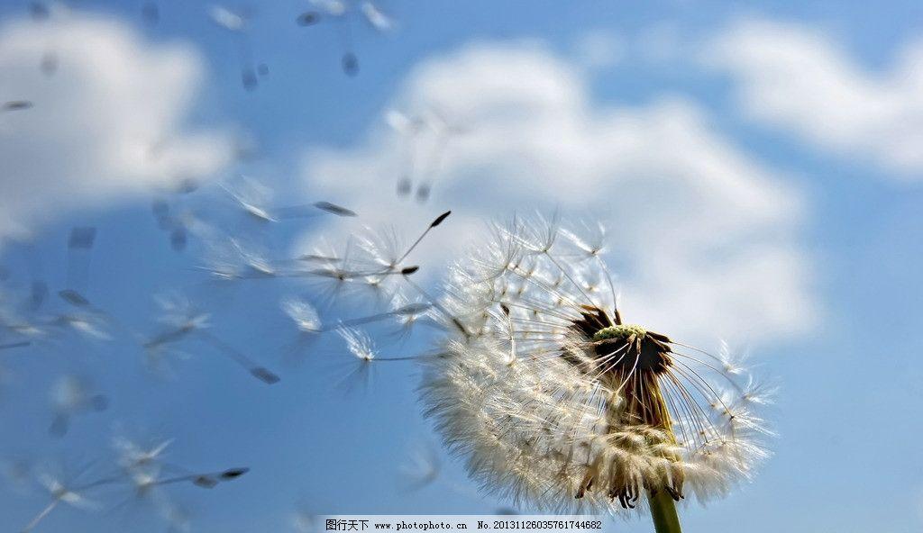 蒲公英 蓝天白云 花朵 鲜花 花丛 植物 自然 风景 花草花丛