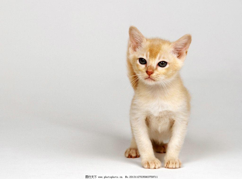 宠物猫 进口猫 猫 宠物 萌猫 小猫 猫咪 宠物素材合集 家禽家畜 生物