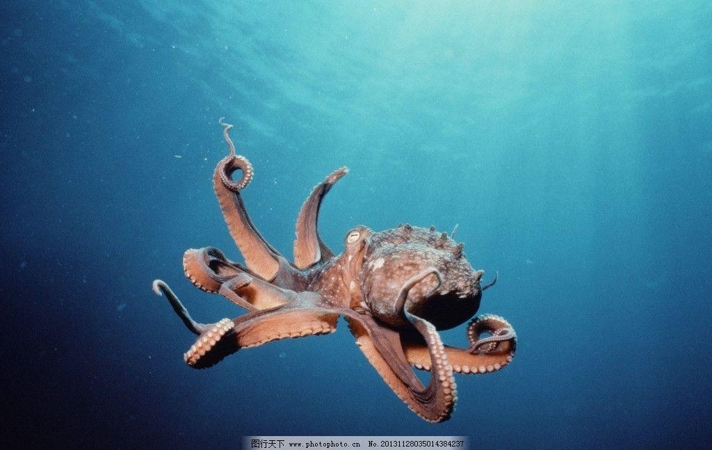 章鱼 濒危野生动物 有益野生动物 珍惜动物 稀有 非人工驯养 野生动物