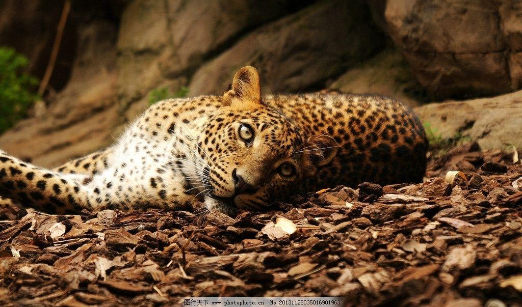 花豹 濒危野生动物 有益野生动物 珍惜动物 稀有 非人工驯养 野生动物