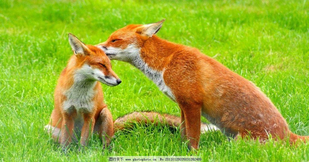 狐狸 濒危野生动物 有益野生动物 珍惜动物 稀有 非人工驯养 野生动物