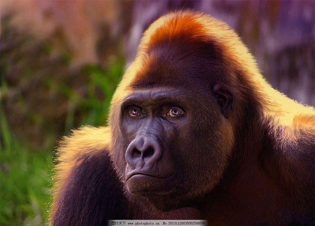 猩猩 濒危野生动物 有益野生动物 珍惜动物 稀有 非人工驯养 狒狒