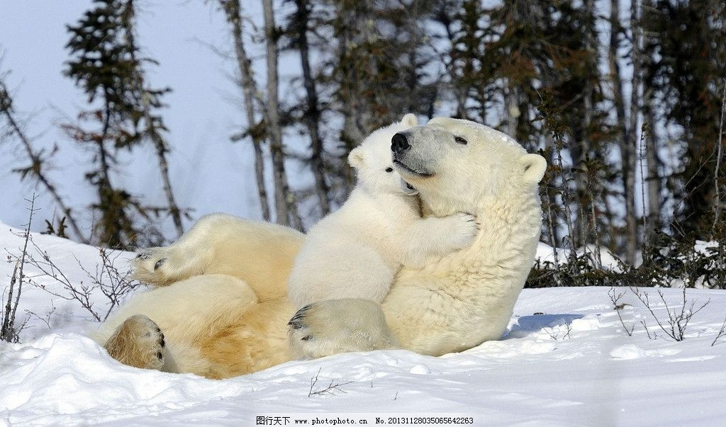 北极熊 濒危野生动物 有益野生动物