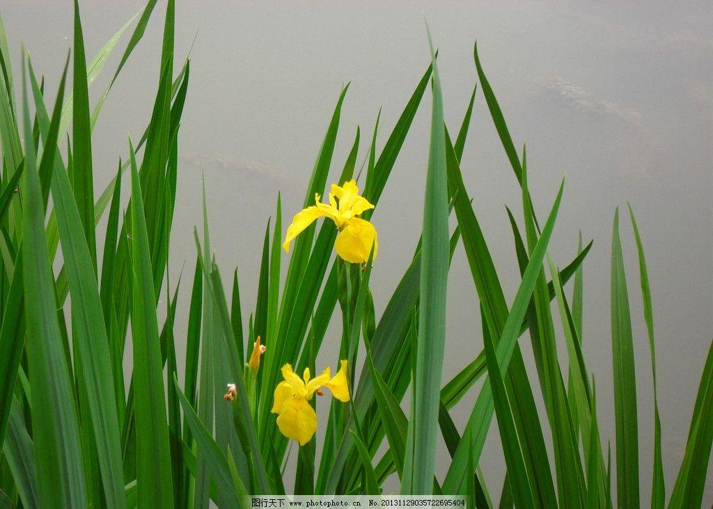 黄菖蒲 鲜花 黄色花朵 湖边 植物 摄影