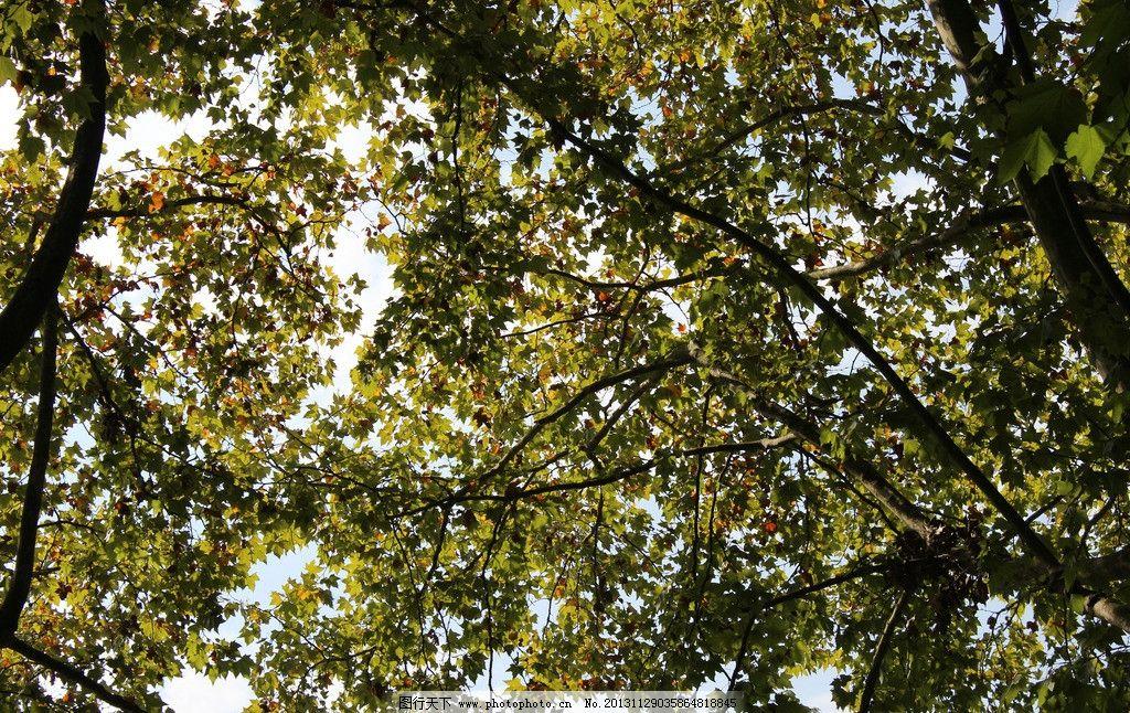 树叶 风景 休闲 摄影 秋景 秋意 秋天 天空 阳光 枫叶 太阳 树木树叶
