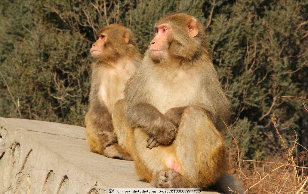 猴子 动物 野生动物 人类朋友 济源五龙口 太阳下 生物世界 摄影 72