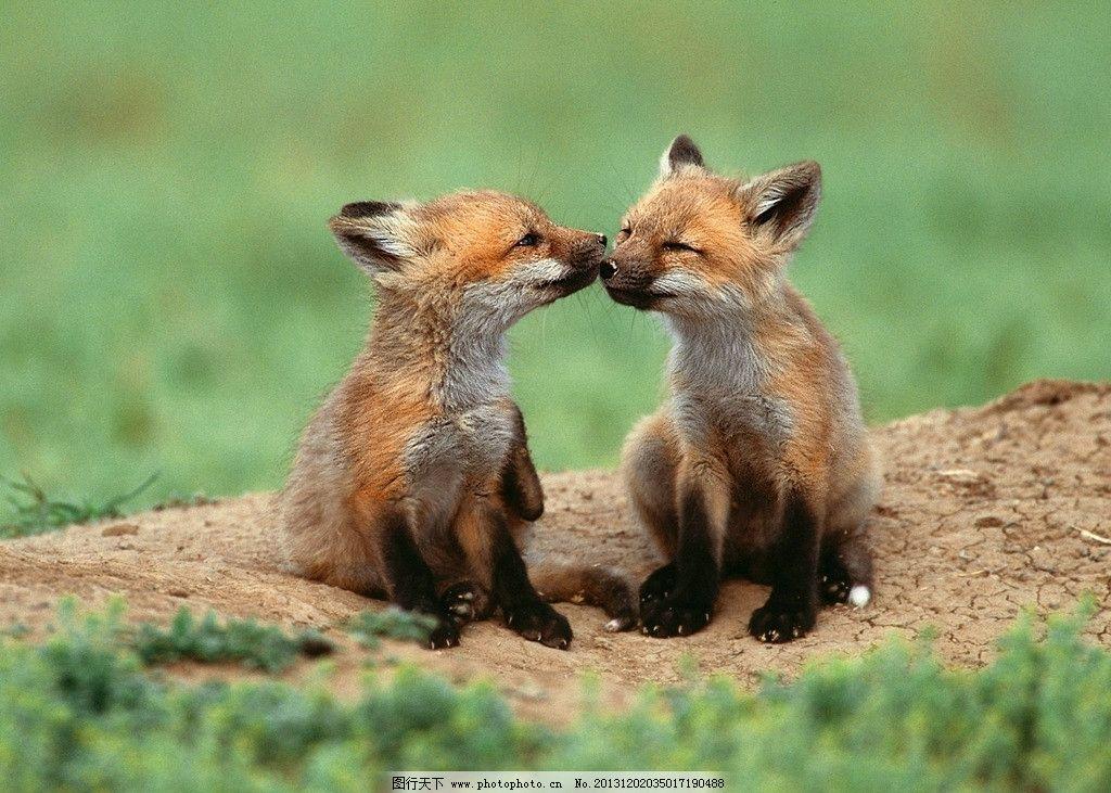 豺狼 野生 动物 非人工驯养 濒危野生动物 物种保护 野生动物系列三