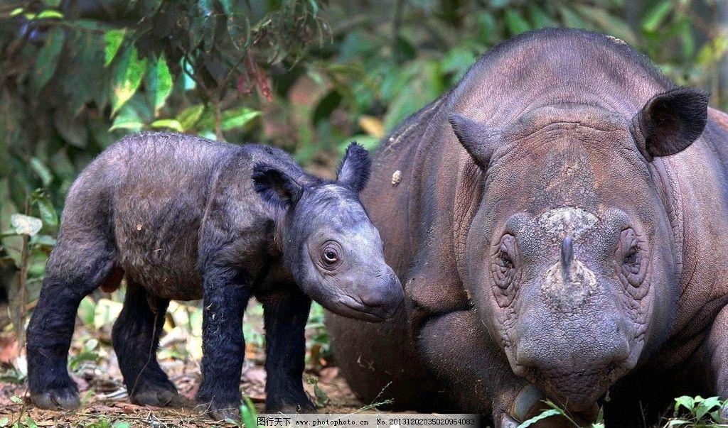 犀牛 野生 动物 非人工驯养 濒危野生动物 物种保护 野生动物系列三
