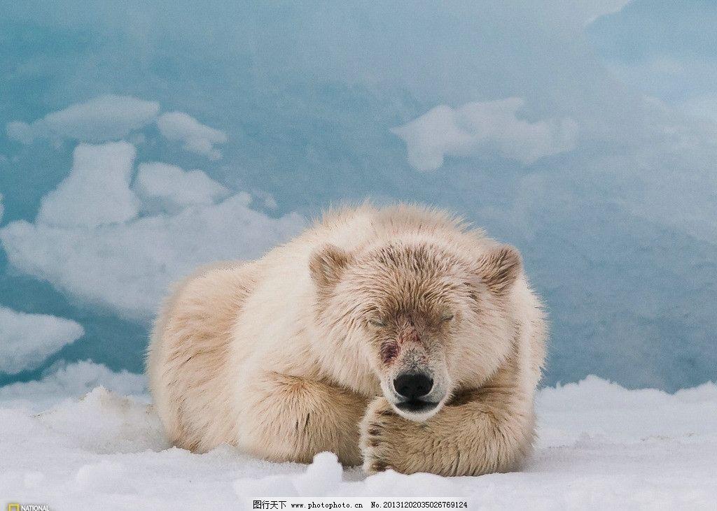 北极熊 野生 动物 非人工驯养 濒危野生动物 物种保护 野生动物系列三