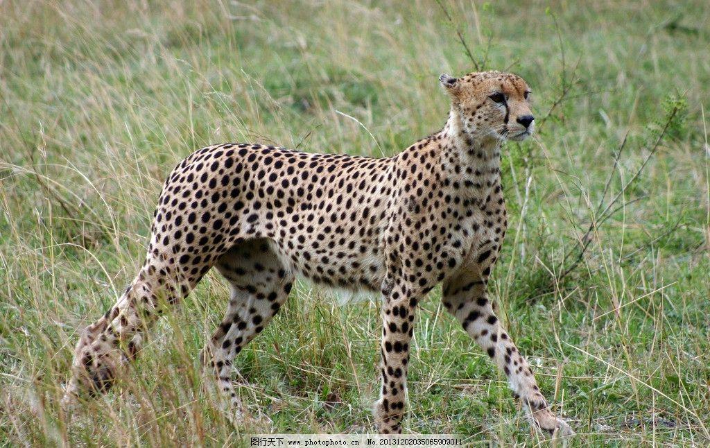 花豹 野生 动物 非人工驯养 濒危野生动物 物种保护 野生动物系列三