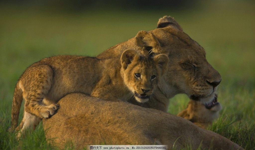 狮子 野生 动物 非人工驯养 濒危野生动物 物种保护 野生动物系列三