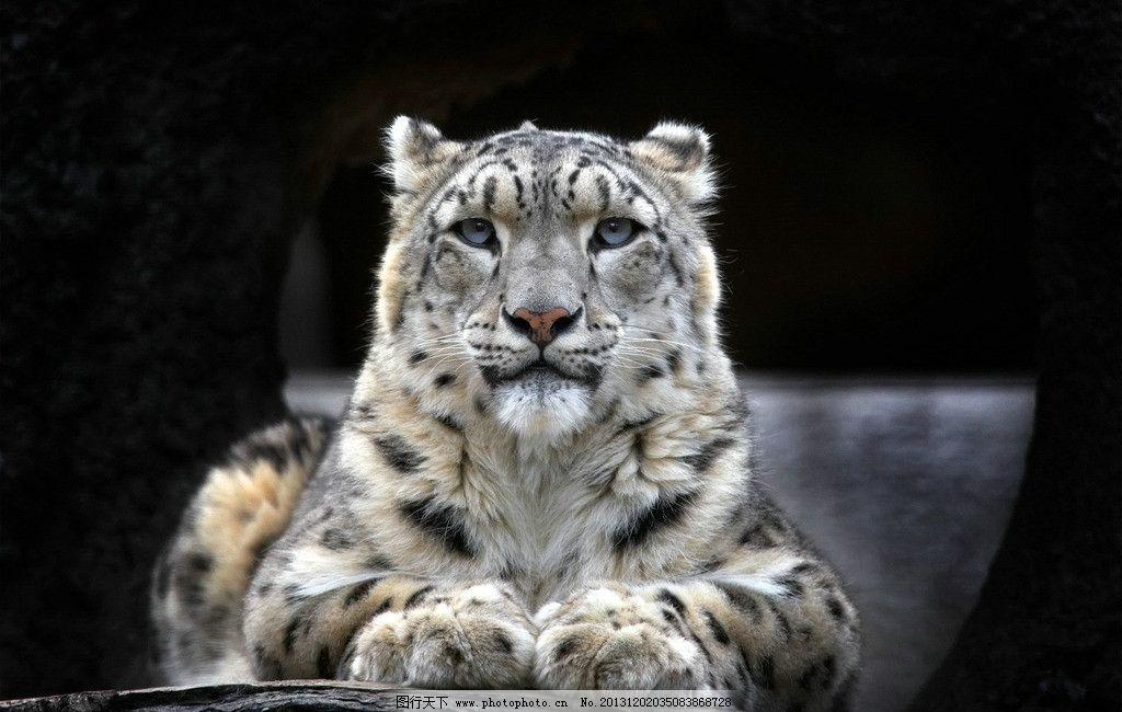 老虎 野生 动物 非人工驯养 濒危野生动物 物种保护 野生动物系列三